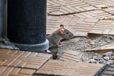 Ratten Bekaempfen Und Aus Dem Haus Vertreiben by Ratten Im Haus Toilette 8