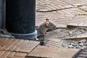 Mäuse Bekämpfen Haus : ratten im garten vertreiben das beste aus wohndesign und ~ Michelbontemps.com Haus und Dekorationen