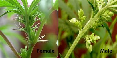 Marijuana Male Plants Female Cannabis Plant Tell