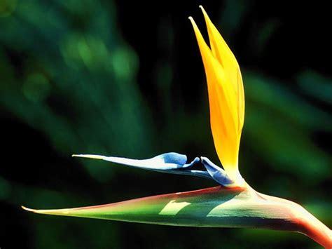 bird of paradise flower market bird of paradise flower pictures