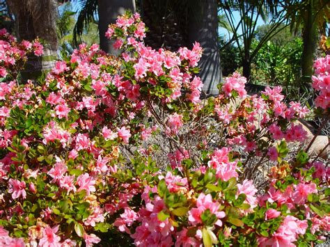 flower shrubs file bush with pink flowers jpg wikimedia commons