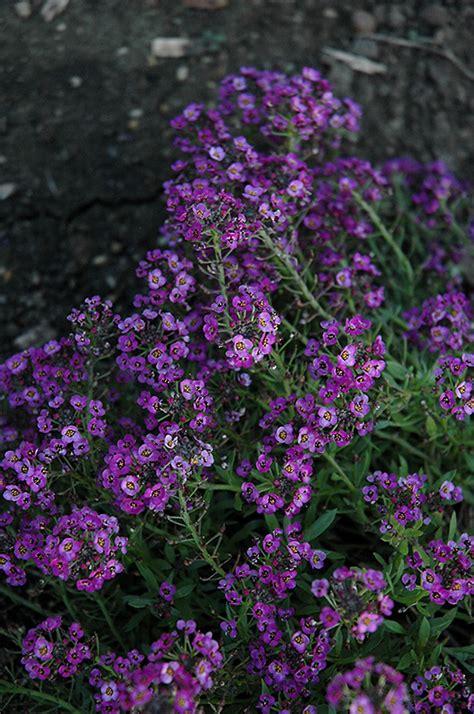 clear crystal purple shades sweet alyssum lobularia