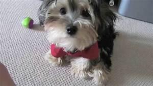 Adorable Morkie (Maltese X Yorkshire Terrier) - YouTube