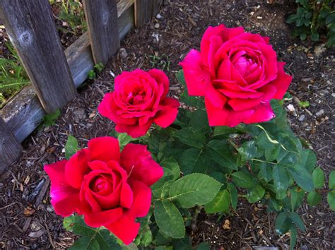 Chrysler Imperial Bush by Roses And New The Garden Diary