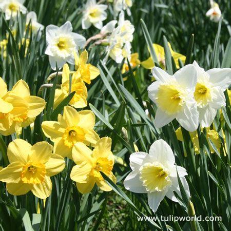 tulip world mixed naturalizing daffodils jumbo bag 32171