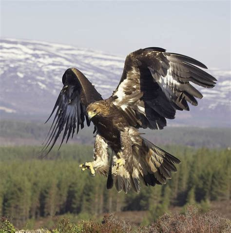 fresh fears  birds  prey  eighth rare eagle