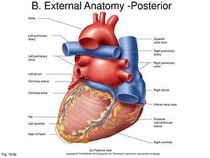 External Heart Anatomy Diagram