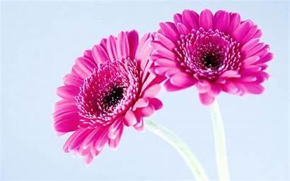 Flower Pink Desktop Wallpapers 4k