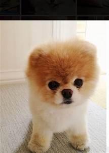 Boo! The dog that looks like a teddy bear! | Animals ...