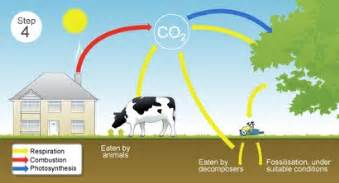 the carbon cycle steps the carbon cycle