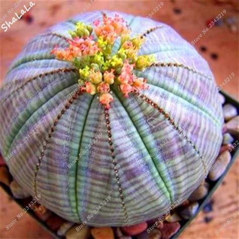 pcs mini rare cactus succulent seeds pure bonsai