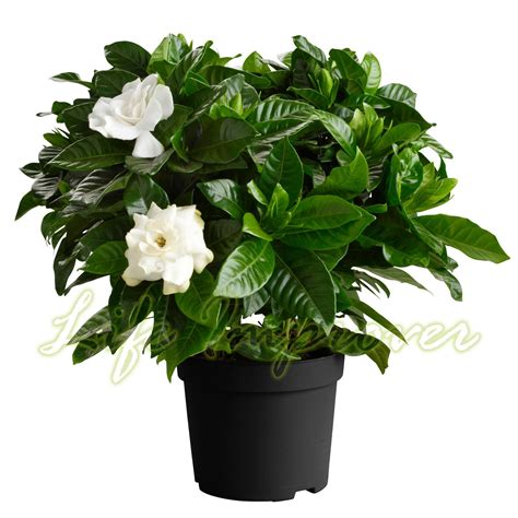 gardenia in a pot 1 scented fragrance gardenia evergreen indoorn house plant in pot garden ebay