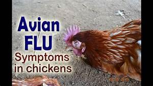 Bird Flu Symptoms  H5n1  Avian Influenza In Poultry