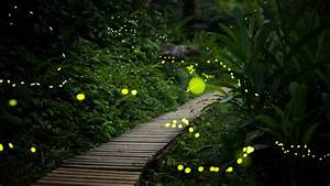 Fireflies Are Disappearing  Here U2019s Why  U2014 And What You Can