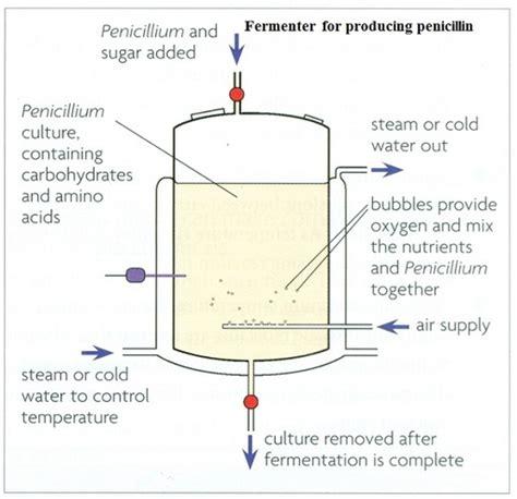microorganisms  manufacture antibiotic penicillin