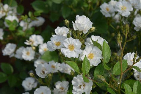 shrub with small white flowers in shrub rose cassie is a flower powerhouse gardeninacity