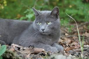 cat for michigan lost grey cat michigan humane society