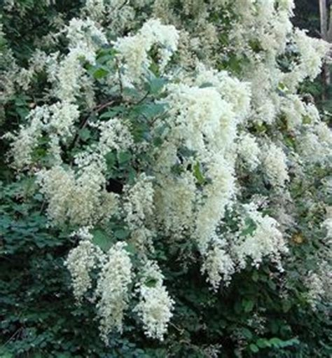 flowering shrubs pacific northwest 268 best images about oregon native plants on pinterest the pacific plants and evergreen