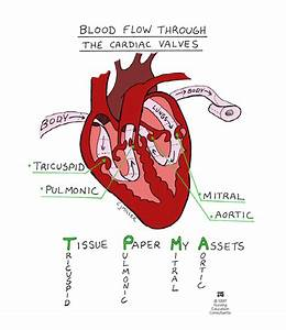 Mnemonic For Blood Flow Through The Cardiac Valves  T M P