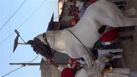 caballos bailadores pushkar competicion feria horse dancing animales dance india amazing