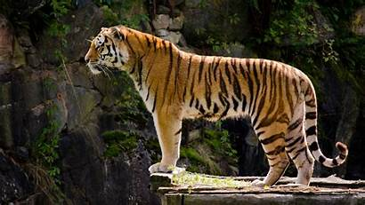 Tiger Desktop 1080p