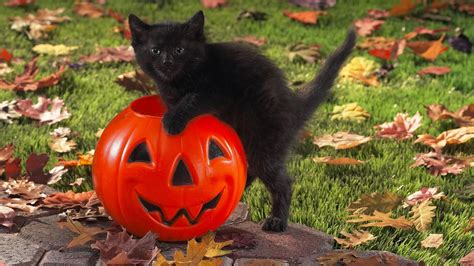 Wallpaper Cat And Pumpkin by Cat Wallpaper 65 Images