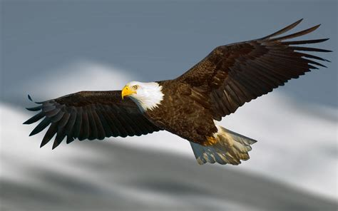 syari aquila bald eagle hd wallpaper and background 1920x1200