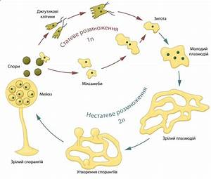 Plasmodial slime mold life cycle | Biologia | Pinterest