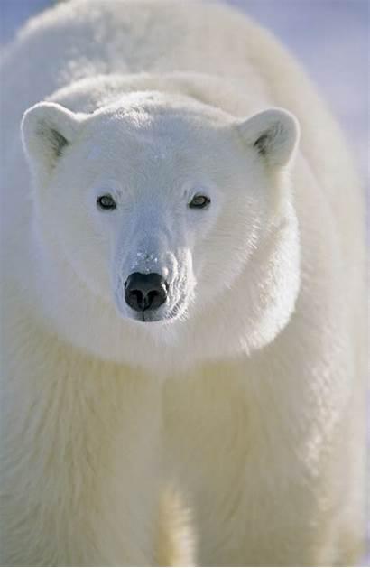 Polar Bear Facts Bears Infrared Invisible Kidspressmagazine