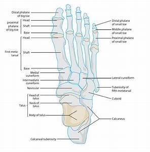 Metatarsal Anatomy
