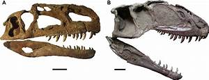 -Skulls of Middle-Late Jurassic Asian theropods in right ...