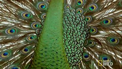 Peacock Feathers Peacocks Witch Tips Originally Posted