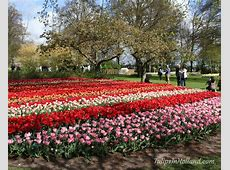 Tulip Garden Amsterdam Tulips in Holland