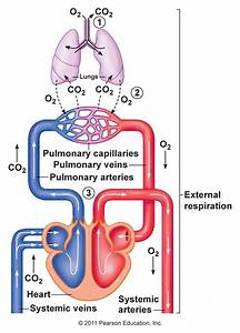 Diagrams Of Respiration