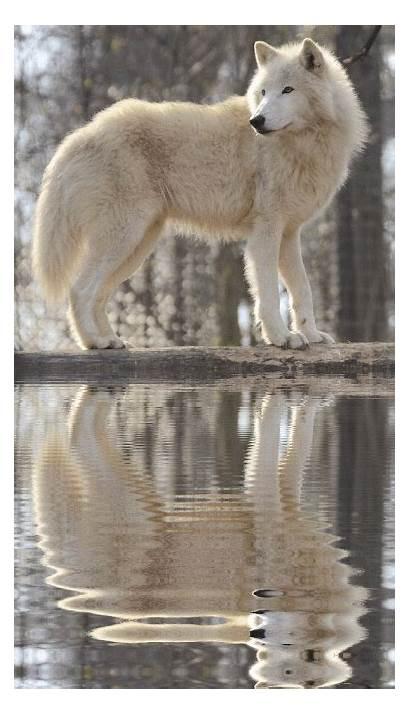 Wolf Wolves Spirit