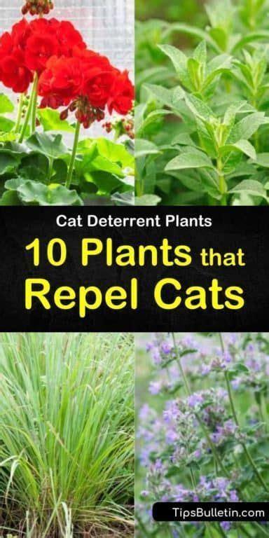 cat deterrent plants  plants  repel cats cat