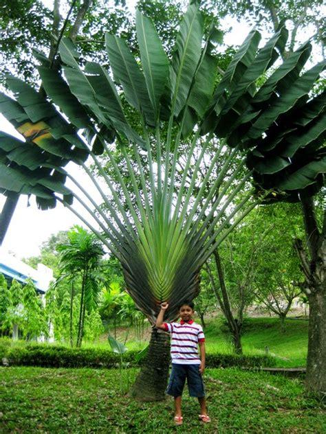 jual pohon pisang kipas jual pohon pisang hias suplier