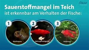 Goldfische Im Teich : sauerstoffmangel im teich bei diesen 3 verhaltensweisen der fische sollten sie sofort handeln ~ Eleganceandgraceweddings.com Haus und Dekorationen