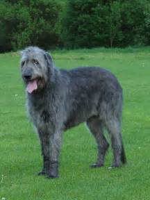irish wolfhound info temperament puppies pictures lifespan