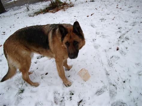 File Ee  German Shepherd Ee   Aka Alsatian And Alsatian Wolf Dog Deutscher Schaferhund Folder Iv