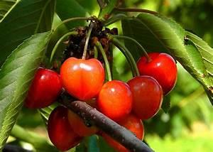 Planter Un Cerisier : conseils pour planter et tailler un cerisier nain ~ Melissatoandfro.com Idées de Décoration