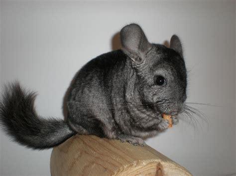 Chinchilla Wallpapers Images Photos Pictures Backgrounds