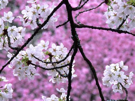 Cherry Blossom Animated Wallpaper - hd flower wallpaper free flowers wallpaper