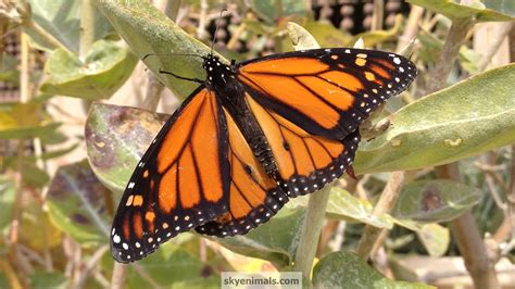 wallpaper monarch butterfly images