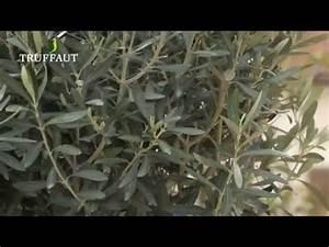 Planter Un Olivier En Pot : formidable quand tailler un olivier en pot 3 comment ~ Dode.kayakingforconservation.com Idées de Décoration