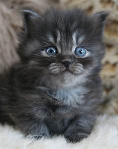 Silver Siberian Kittens - Silver Siberian Cats - available ...