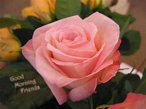 Good Morning Friends – Pink Rose Image