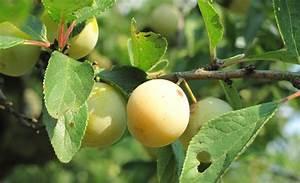 Apfelbaum Wann Schneiden : mirabellenbaum schneiden baumschnitt ~ Frokenaadalensverden.com Haus und Dekorationen