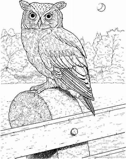Owl Coloring Horned Drawing Owls Draw Nature