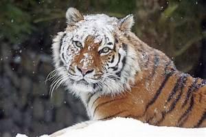 Free Images : snow, cold, winter, zoo, predator, fauna ...